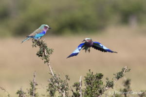Lilac-breasted rollers (Coriacas caudata) feeding and flying, Masai Mara National Reserve, Kenya, 1