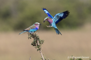 Lilac-breasted rollers (Coriacas caudata) feeding and flying, Masai Mara National Reserve, Kenya, 3