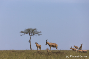 Group of topis (Damaliscus korrigum), Masai Mara National Reserve, Kenya