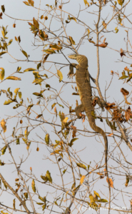 Monitor lizard (Varanus niloticus) waking up from the night in a tree, Lake Kariba, Zimbabwe, 1