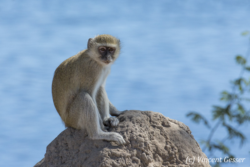 Vervet (Chlorocebus pygerythrus) sitting on a termite mount, Chobe National Park, Botswana