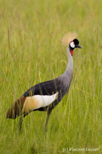 Crested-crane in the field