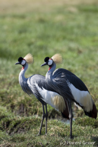 Couple of crested-cranes  (Balearica regulorum gibbericeps), Masai Mara National Reserve, Kenya, 1