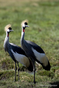 Couple of crested-cranes  (Balearica regulorum gibbericeps), Masai Mara National Reserve, Kenya, 2