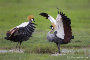 Couple of crested-cranes  (Balearica regulorum gibbericeps) in courtship, Amboseli National Park, Kenya, 1