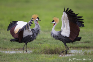 Couple of crested-cranes  (Balearica regulorum gibbericeps) in courtship, Amboseli National Park, Kenya, 3
