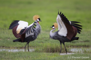 Couple of crested-cranes  (Balearica regulorum gibbericeps) in courtship, Amboseli National Park, Kenya, 4