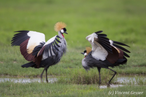 Couple of crested-cranes  (Balearica regulorum gibbericeps) in courtship, Amboseli National Park, Kenya, 5