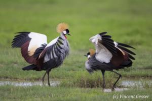 Couple of crested-cranes  (Balearica regulorum gibbericeps) in courtship, Amboseli National Park, Kenya, 5