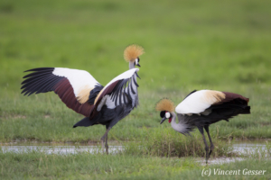 Couple of crested-cranes  (Balearica regulorum gibbericeps) in courtship, Amboseli National Park, Kenya, 6