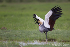 Crested-crane  (Balearica regulorum gibbericeps) spreading wings, Amboseli National Park, Kenya, 1