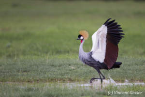 Crested-crane  (Balearica regulorum gibbericeps) spreading wings, Amboseli National Park, Kenya, 2
