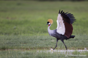 Crested-crane  (Balearica regulorum gibbericeps) spreading wings, Amboseli National Park, Kenya, 3