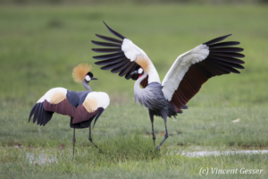 Couple of crested-cranes  (Balearica regulorum gibbericeps) in courtship, Amboseli National Park, Kenya, 8