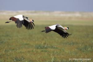 Couple of crested-cranes  (Balearica regulorum gibbericeps) flying, Amboseli National Park, Kenya, 3