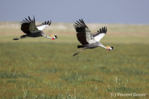 Couple of crested-cranes  (Balearica regulorum gibbericeps) flying, Amboseli National Park, Kenya, 4