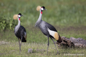 Couple of crested-cranes  (Balearica regulorum gibbericeps) watching each other, Amboseli National Park, Kenya, 1