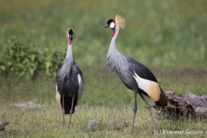 Couple of crested-cranes  (Balearica regulorum gibbericeps) watching each other, Amboseli National Park, Kenya, 2