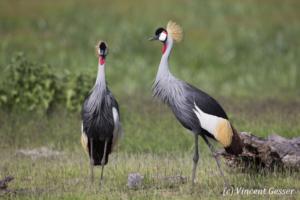 Couple of crested-cranes  (Balearica regulorum gibbericeps) watching each other, Amboseli National Park, Kenya, 2