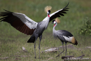 Couple of crested-cranes  (Balearica regulorum gibbericeps) in courtship, Amboseli National Park, Kenya, 12