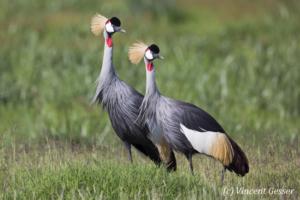 Couple of crested-cranes  (Balearica regulorum gibbericeps) watching, Amboseli National Park, Kenya