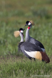 Couple of crested-cranes  (Balearica regulorum gibbericeps) watching each other, Amboseli National Park, Kenya, 3