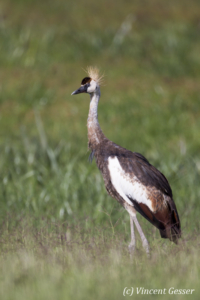 Juvenile crested-crane  (Balearica regulorum gibbericeps) walking, Amboseli National Park, Kenya, 2