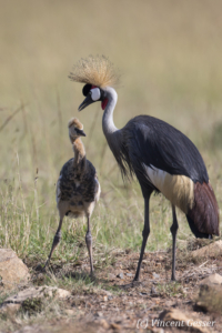 Crested-crane adult with juvenile (Balearica regulorum gibbericeps) walking, Masai Mara National Reserve, Kenya