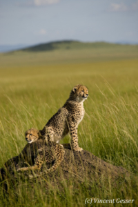 Two cheetahs (Acinonyx jubatus) on termite mound, Masai Mara National Reserve, Kenya, 1