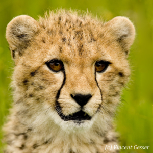Young cheetah (Acinonyx jubatus) portrait, Masai Mara National Reserve, Kenya, 1