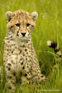 Young cheetah (Acinonyx jubatus) close up, Masai Mara National Reserve, Kenya