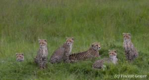 Family of six cheetahs (Acinonyx jubatus), Masai Mara National Reserve, Kenya, 1