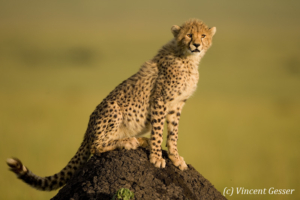 Young cheetah (Acinonyx jubatus) on termite mound, Masai Mara National Reserve, Kenya