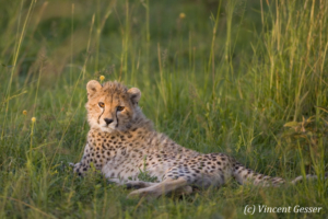 Young cheetah (Acinonyx jubatus) laying in grass, Masai Mara National Reserve, Kenya