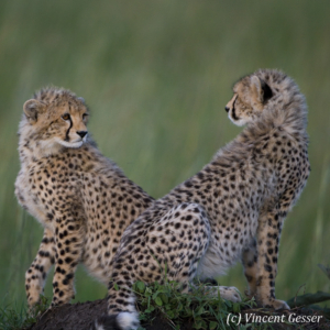 Young cheetahs (Acinonyx jubatus) looking at each other, Masai Mara National Reserve, Kenya