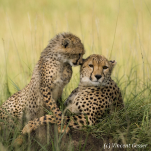 Mother and young cheetah (Acinonyx jubatus), Masai Mara National Reserve, Kenya, 1