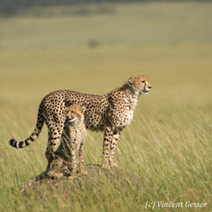Two cheetahs (Acinonyx jubatus) on termite mound, Masai Mara National Reserve, Kenya, 2