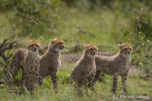 Four young (Acinonyx jubatus) cheetahs, Masai Mara National Reserve, Kenya