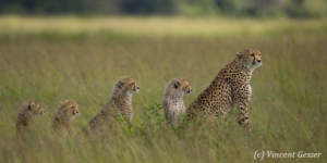 Four young cheetahs (Acinonyx jubatus) and mother in a row, Masai Mara National Reserve, Kenya