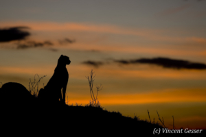 Cheetah (Acinonyx jubatus) profile at sunset, Masai Mara National Reserve, Kenya, 1