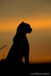 Cheetah (Acinonyx jubatus) profile at sunset, Masai Mara National Reserve, Kenya, 2