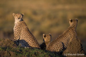 Cheetahs (Acinonyx jubatus) around termite mound, Masai Mara National Reserve, Kenya, 2