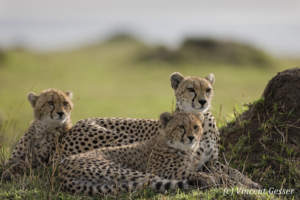 Three cheetahs (Acinonyx jubatus) observing, Masai Mara National Reserve, Kenya