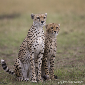 Two cheetahs (Acinonyx jubatus) observing, Masai Mara National Reserve, Kenya