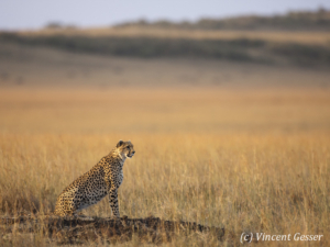 Cheetah (Acinonyx jubatus) scanning the plain, Masai Mara National Reserve, Kenya