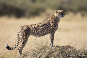 Adult cheetah (Acinonyx jubatus) on termite mound, Masai Mara National Reserve, Kenya