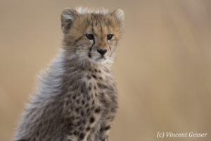Young cheetah (Acinonyx jubatus) portrait, Masai Mara National Reserve, Kenya, 3