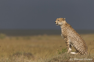 Cheetah (Acinonyx jubatus) on termite mound, Masai Mara National Reserve, Kenya, 3