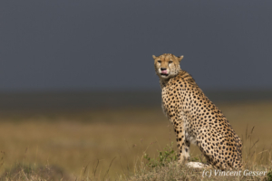 Cheetah (Acinonyx jubatus) on termite mound, Masai Mara National Reserve, Kenya, 4