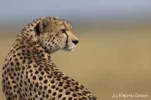 Cheetah (Acinonyx jubatus) looking back, Masai Mara National Reserve, Kenya